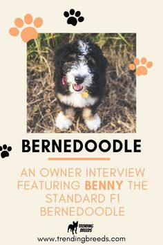 Looking for a Bernedoodle review? Look no further! In this exclusive owner interview, Brittany shares everything about her adorable Standard F1 Bernedoodle, Benny. Exercise habits, shedding, personality, quirks, grooming supplies, crate, favorite toys, and more!
