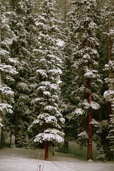 pine/snow