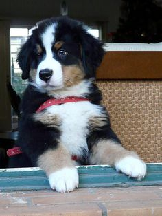 bernese mtn dog - my fave!