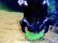 Anemone consumes a baby seabird - ¡Espeluznate!, anémona devora un polluelo de ave marina