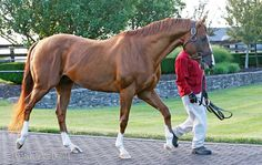 Why California Chrome is getting top marks for his work in the breeding shed | Topics: California Chrome, Taylor Made Farm, Horse Racing, Not This Time, Scat Daddy | Thoroughbred Racing Commentary