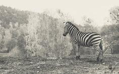 Zoo w Gdańsku Oliwie - Zebra - fot. Czarna Zebra