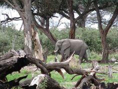 Elephant walking past my tent at Khwai - Botswana