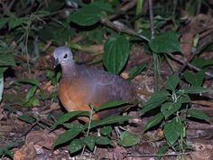 16B-Crypturellus soui albigularis (Little Tinamou - Mark Andrews)