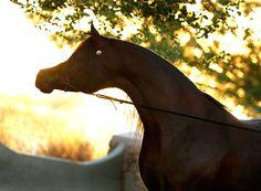Arabhorse.com - PA Gazsi - Pannonia Arabians - Arabian Horse