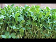 Learn how to grow sunflower sprouts at home with minimal tools or supplies. Sunflower greens are a delicious nutritious microgreen that are easy to grow any time of year.