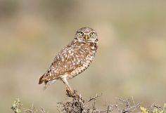 Burrowing Owl (Athene cunicularia) - Picture 4 in Athene: cunicularia - Location: Pawnee National Grasslands, Weld County, Colorado, USA. June 2007.  Photo by Greg Lasley.