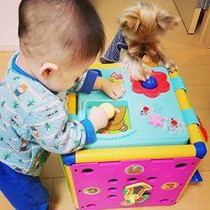 オモチャは共用でOK❔😁 #yorkshireterrier #yorkie #yorkshire #yorkelife #yorkieworld #yorkienation #yorkielovers #yorkiesofinstagram #terrier #doggy #cuteyorkie #dog #dogstagram #pet #yorkielove #instdog #わんこ #愛犬 #犬 #いぬ #ドッグ #ヨークシャーテリア #ヨーキー #ペット #赤ちゃん #赤ちゃんと犬 #baby #babyanddog #犬と子供 #生後8ヶ月