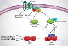 Glucagon-mediated activation of PKA