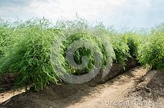 sparrisväxter - Sök på Google Google, Plants, Plant, Planets