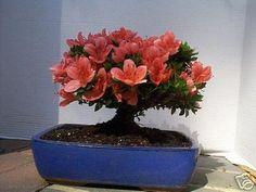 pink bonsai trees - Google Search