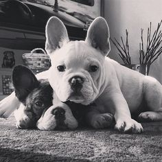 It's easy to see why Boston Terrier and French Bulldog parents love both breeds...and why other people confuse the two.
