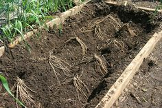 planting asparagus crowns raised bed - trench and mound Planting Asparagus Crowns, Asparagus Roots, Asparagus Plant, Perennial Vegetables, Growing Vegetables, Perennial Plant, Organic Gardening, Gardening Tips, Vegetable Garden