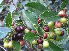 Colourful berries of Cassine peragua