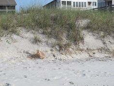 The infamous plastic bag caught on a sand dune.                         - MOMMY MOO MOO  #trash #pickitup #motherearth