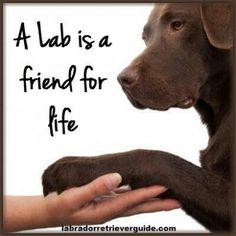 ♥Love Chocolate lab