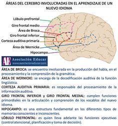 Infografía Neurociencias: Áreas del cerebro involucradas en el aprendizaje de un nuevo idioma.   Asociación Educar