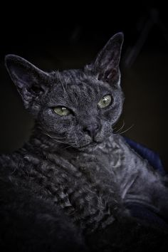 devon rex...I had one of these but it was seal point siamese colour with blue eyes. He was convinced he was part dog!! RIP Sunny