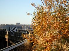 The gray birch, Betula populifolia, is native to the east coast of North America. In addition to the normal variety, the High Line features the 'Whitespire' cultivar, which was developed in Wisconsin to be more pest-resistant.