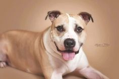 I'm Branson, a 3-year-old pit bull mix weighing about 82 lbs.  I am a perfect gentleman!  I like female dogs, but prefer to be the only male! I am not a fan of cats! I am potty trained and do so well home alone that I don't need to be in a crate, I would love a fenced in yard so I can stretch my legs and would love an owner willing to take me for walks. I am very smart and know lots of commands! Apply to adopt me today!!