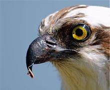 Pandion haliaetus -San Francisco Bay, California, - Osprey - Wikipedia, the free encyclopedia Animal Species, Bird Species, Owl Bird, Pet Birds, Osprey Bird, Fish Hawk, Small Birds, Birds Of Prey, Raptors