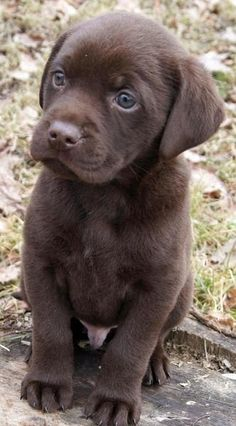 Chocolate Lab Puppy, yeah real cute till it eats our phone wires off the back of the house!