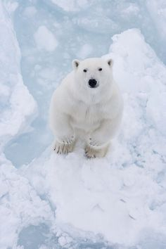 #polar #polarbear #bear #nature