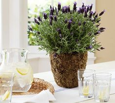 Live Lavender Plant in Moss Pot #potterybarn - I love the smell of lavender!