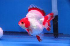 Red/White Short-Tail Ryukin » DandyOrandas.com