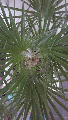 Palmboom in je woonkamer  # groeninhuis