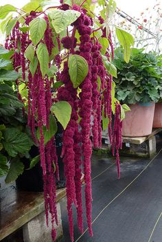 Amaranthus caudatus 'Love Lies Bleeding' |  via anniesannuals Flickr - Photo Sharing! Adds zing to every flower arrangement! Geeft swing aan ieder bloemarrangement!