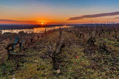"""82 mentions J'aime, 9 commentaires - Sébastien Gaudard (@sebastiengaudard) sur Instagram: """"Lever de soleil sur les vignes surplombant la Loire au Thoureil (Maine-et-Loire). #sebastiengaudard…"""""""
