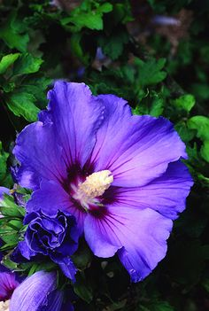 Buy tree hollyhock (syn. Blue Bird ) Hibiscus syriacus 'Oiseau Bleu': Delivery by Waitrose Garden in association with Crocus