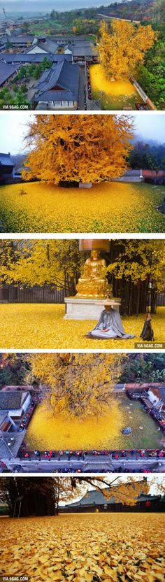 This 1,400-Year-Old Ginkgo Tree In China Drops Leaves That Drown Buddhist Temple In A Yellow Ocean