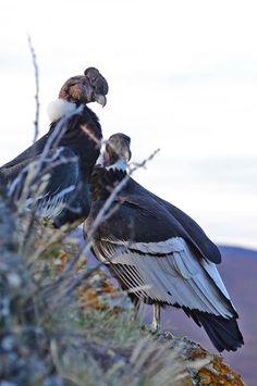 pareja de condores , Torres del Paine , patagonia , Chile