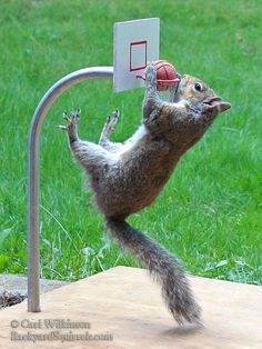 Once again the squirrel does a huge slam dunk.
