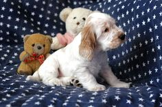Cockerspaniel, Spaniels, Teddy Bear, Puppies, Dogs, Angels, Doggies, Animaux, Cubs