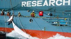 """Japan's """"Research"""" Whaling  Thought Japan did away with whaling after the International Court of Justice ruled the seasonal tour of the Antarctic illegal under international law? Well … so did everyone else in the world … except for Japan."""