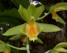 Catasetum triodon