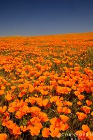 It didn't rain enough last year for the poppies to bloom. Hopefully, we'll get to see them this year.  Poppy Reserve in Antelope Valley, CA