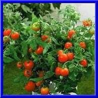 The Rusted Garden Vegetable Seeds & Home Garden Supplies Seed Germination, Herb Seeds, Plants, Beefsteak Tomato, Vegetable Seed, Tomato Garden, Container Gardening, Tomato Seeds, Garden Supplies