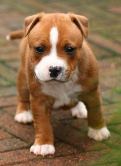 tan and white staffordshire bull terrier - Google Search