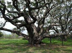 Rockport Texas Gulf Coast---the famous 'windswept trees' of Rockport.