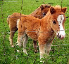 mini foals