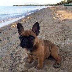 French Bulldog at the Beach