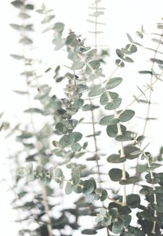 Eucalyptus Print Herbal Photo Botanical Print Herb Wall Art Green Plant Photo Boho Wall Decor Zen Bathroom Art Minimalist Art Herbal Print – Best Garden Plants And Planting Zen Background, Collage Mural, Zen Bathroom Decor, Impressions Botaniques, Minimal Art, Herb Wall, Plant Aesthetic, Wall Decor, Wall Art