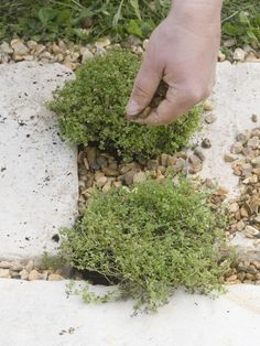 Take your thyme! This versatile herb has a long and storied past --> http://blog.hgtvgardens.com/herbivore-a-closer-look-at-thyme/?soc=pinterest