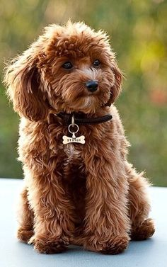 Cute little Cavapoo puppy…