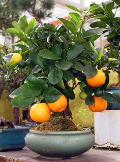 bonsai frutas