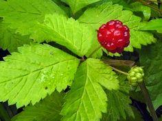 Flore du Québec :: Présentation = Ronce pubescente [Rubus pubescens] Champs, Wild Edibles, Strawberry, Stuffed Peppers, Fruit, Vegetables, Comme, Image, Gardens